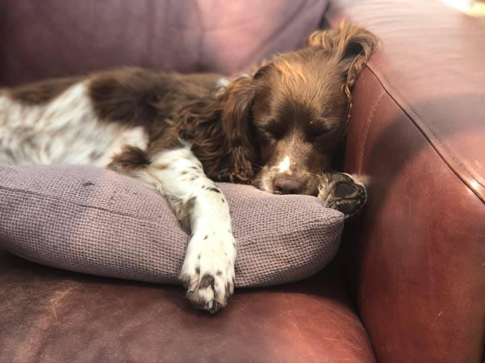 An English SPringer Spaniel asleep on a cushion on a brown leather sofa